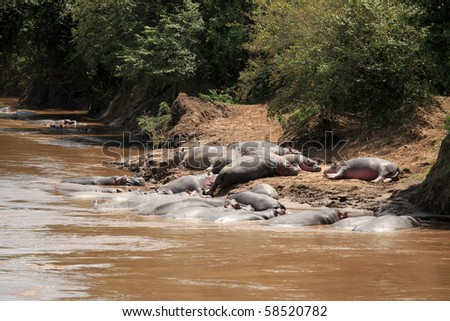 Hippo in Mara River  - Maasai Mara National Park in Kenya, Africa