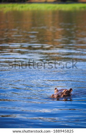 Hippo in the river - Hippopotamus Amphibius , Chobe National Park, Botswana  - stock photo