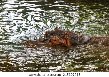 Hippo in the water - stock photo
