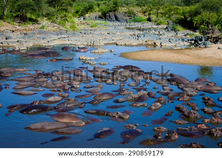 Hippo in the water hole - stock photo