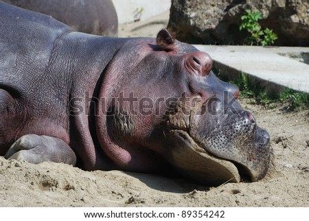 hippo in the zoo lies and sleeps