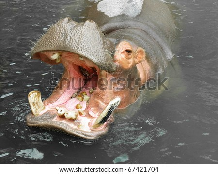 Hippo is eating pears in dirty water - stock photo