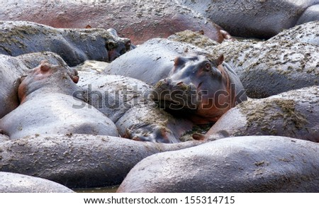 Hippo is watching the camera while laying with a big group of hippo's in the water - stock photo