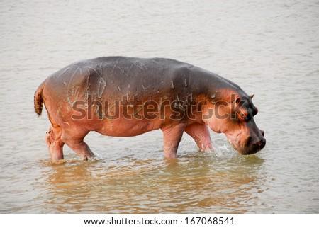 Hippo, North Lwanga National Park (Zambia) - stock photo