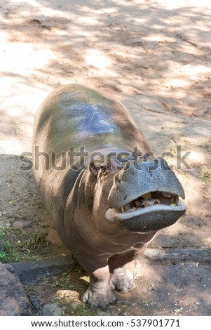 Hippo on a background of sand