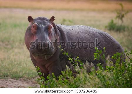 Hippo on african savannah - stock photo