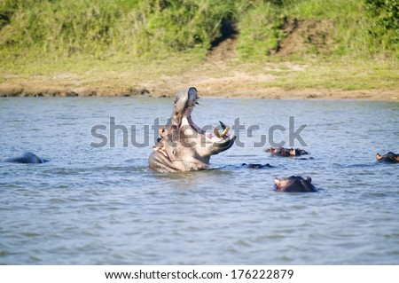 Hippo opening mouth in a sequence of shots in the Greater St. Lucia Wetland Park World Heritage Site, St. Lucia, South Africa - stock photo