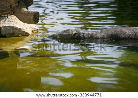 Hippo resting in swamp water - stock photo