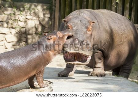 Hippo's family 3 - stock photo