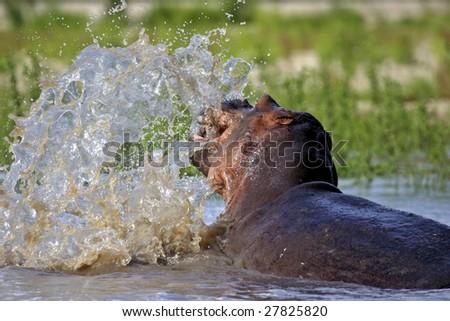 Hippo splashing with head Rufiji River in the Selous Southern Tanzania - stock photo