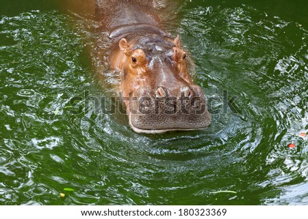 hippo / The hippopotamus, or hippo, mostly herbivorous mammal in sub-Saharan Africa. - stock photo