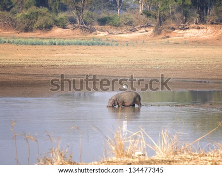 Hippo walking in water in South Luangwa National Park, Zambia, Africa - stock photo