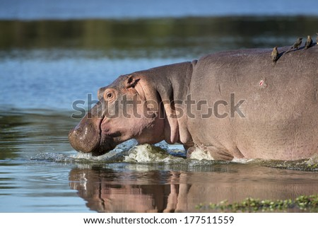 Hippo walking into water with ox peckers on his back South Africa - stock photo