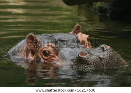 Hippo with head above water and looking at you - stock photo