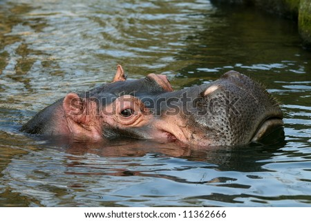 Hippo with head out of the water - stock photo