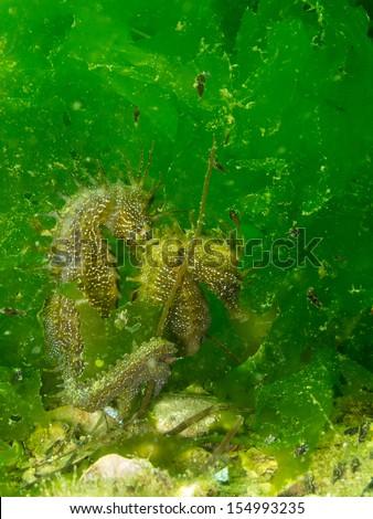 Hippocampus guttulatus - stock photo