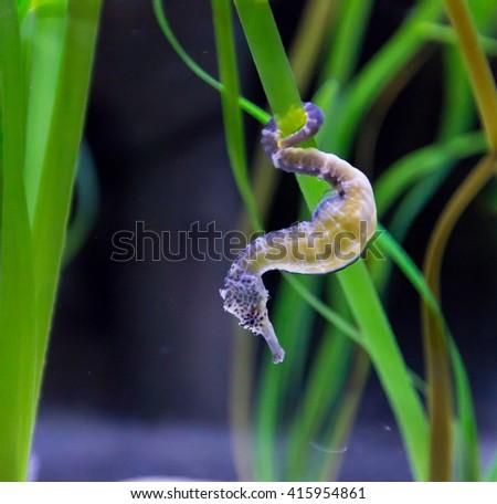 Hippocampus or Seahorse among algae - stock photo