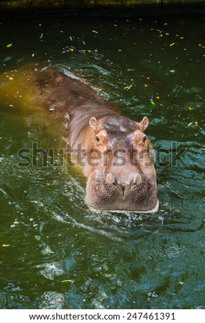 Hippopotamus. - stock photo