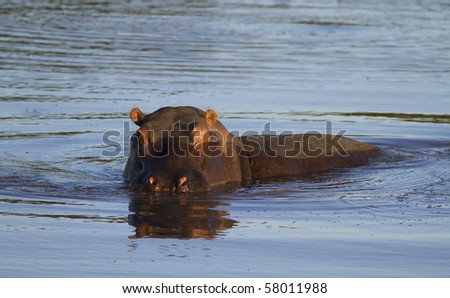 Hippopotamus about to charge