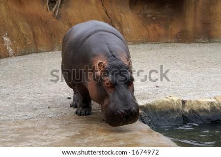 Hippopotamus at the St. Louis Zoo - stock photo