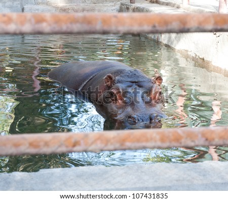 hippopotamus at the zoo - stock photo