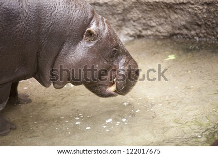 Hippopotamus chewing food that it grabbed from the pond. - stock photo