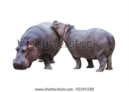 Hippopotamus couple isolated on white - stock photo