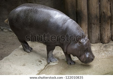 Hippopotamus drinking water from artificial pond in a zoo. - stock photo