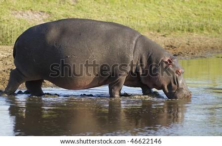 Hippopotamus enters water - stock photo