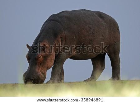 Hippopotamus grazing (Hippopotamus amphibius), South Luangwa National Park, Zambia - stock photo
