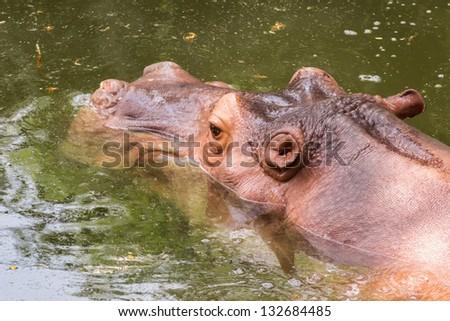 hippopotamus - (Hippopotamus amphibious) - stock photo