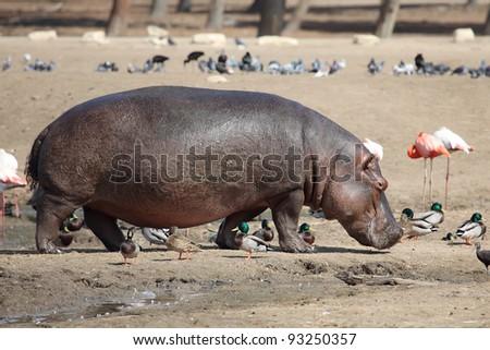 Hippopotamus (Hippopotamus amphibius) in the zoo - stock photo