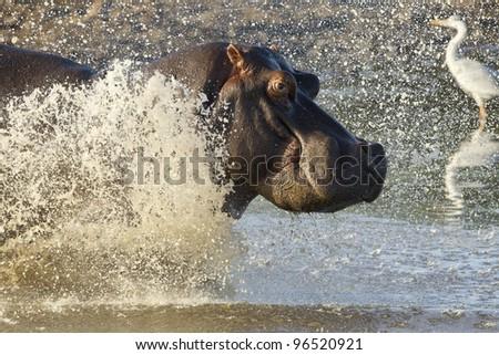Hippopotamus (Hippopotamus amphibius) running into water, Kruger Park, South Africa - stock photo
