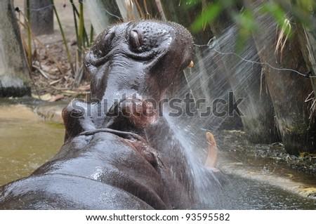 Hippopotamus (Hippopotamus amphibius) with his mouth open wide. - stock photo