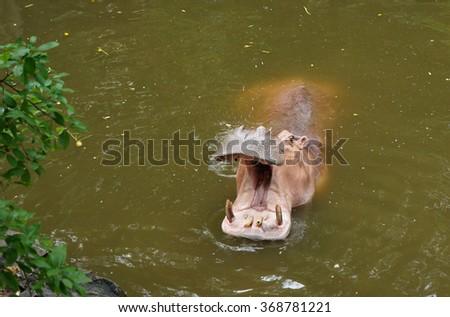 Hippopotamus (Hippopotamus amphibius) with open mouth - stock photo