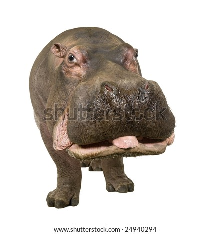 Hippopotamus - Hippopotamus amphibius ( 30 years) in front of a white background