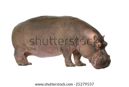 Hippopotamus - Hippopotamus amphibius ( 30 years) in front of a white background - stock photo