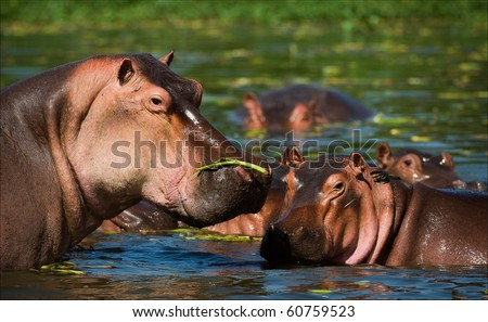 Hippopotamus in a bog. On the bright and hot sun the hippopotamus hides the gentle skin from sun rays under water - stock photo