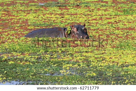 Hippopotamus in a morass. South Luangwa national Park in Zambia - stock photo