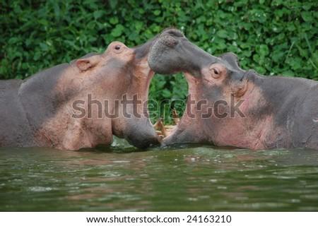 Hippopotamus in fight - stock photo