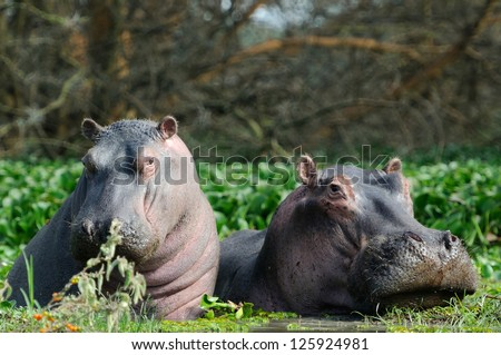 Hippopotamus in the lake Naivasha in kenya africa - stock photo