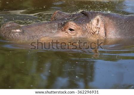 Hippopotamus in the Pond - stock photo