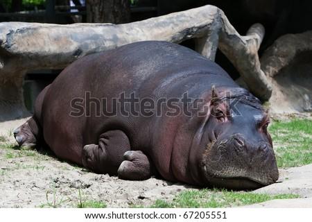Hippopotamus in the ZOO - stock photo