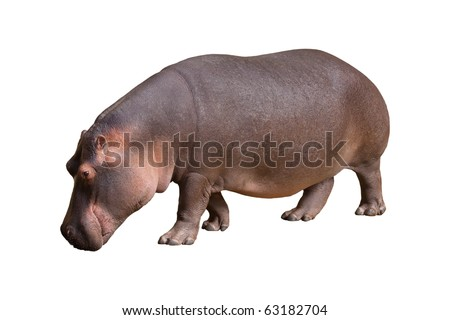 Hippopotamus isolated in the white background. - stock photo