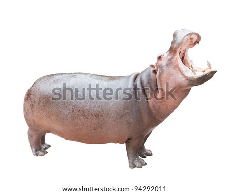 Hippopotamus isolated on white with clipping path - stock photo