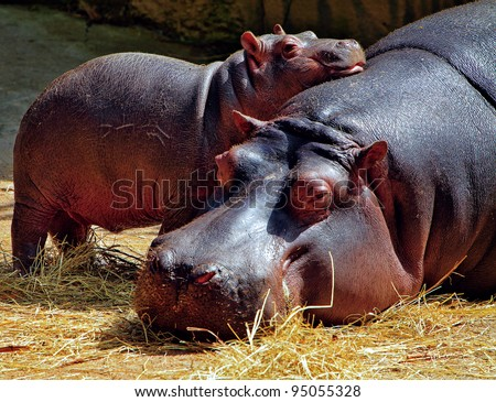 Hippopotamus mother and a baby - stock photo