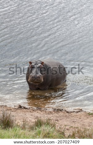 Hippopotamus on the banks of the river - stock photo