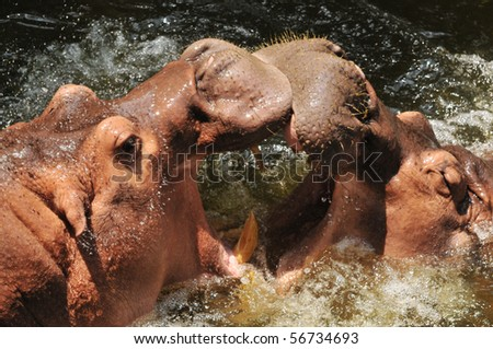 Hippopotamus playing together - stock photo