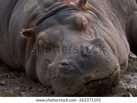 hippopotamus resting - stock photo