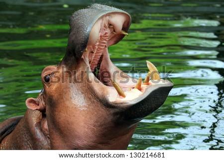 Hippopotamus showing huge jaw and teeth - stock photo